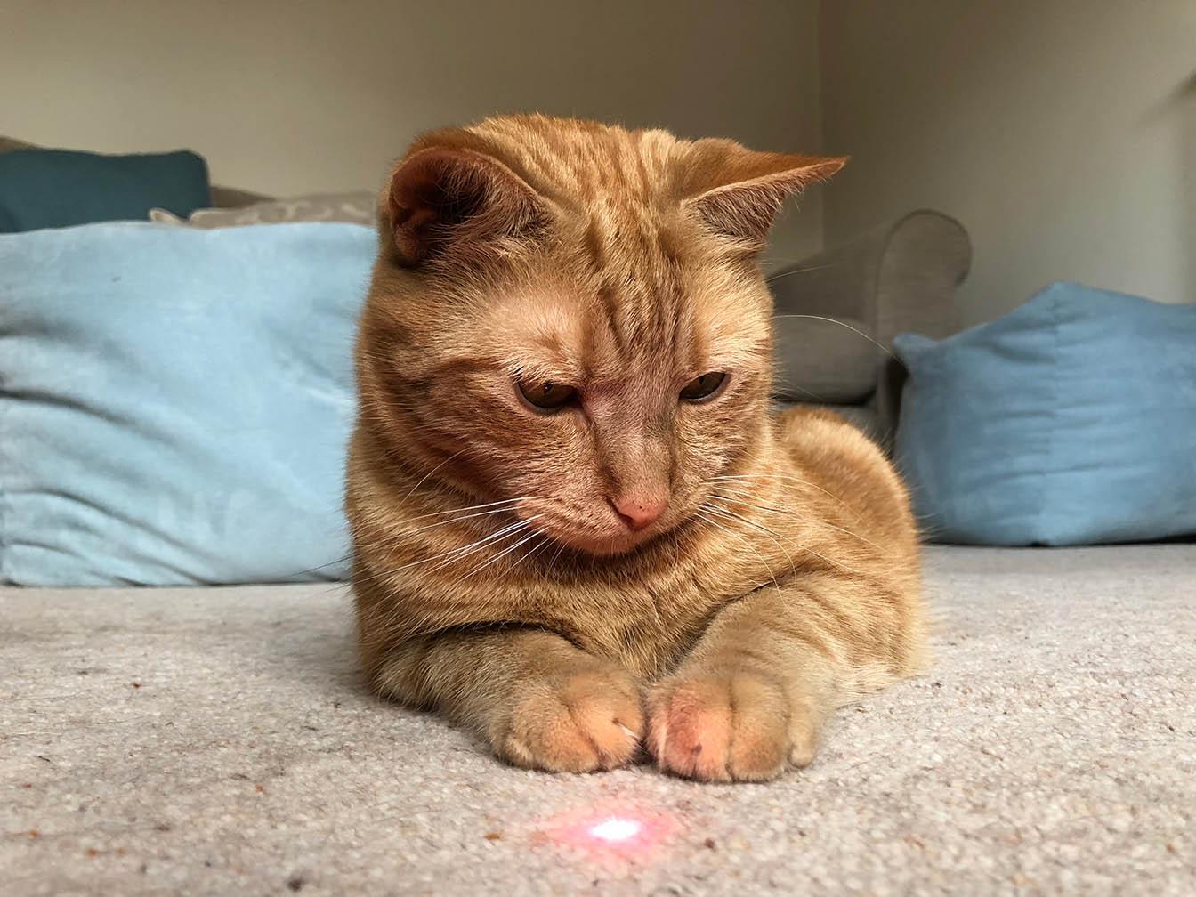 Cat staring on laser