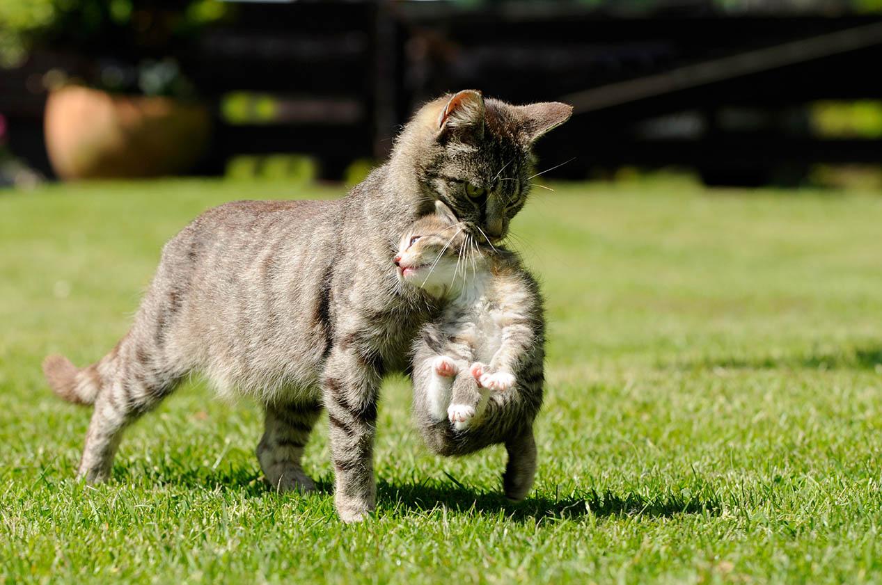 Cat transferring kitten