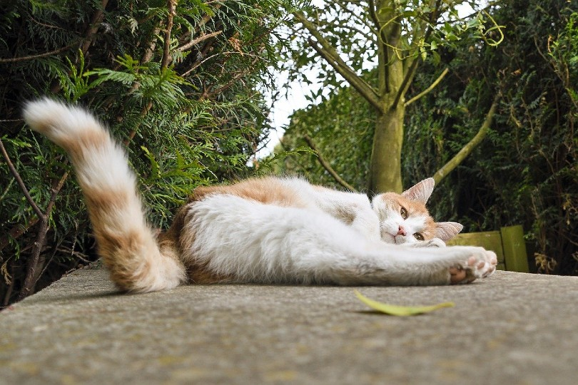 cat wagging its tail