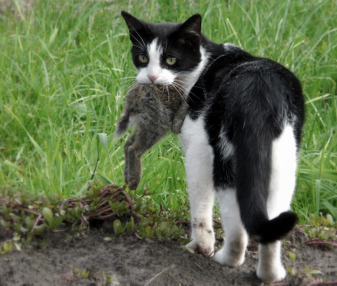 cat with dead rabbit