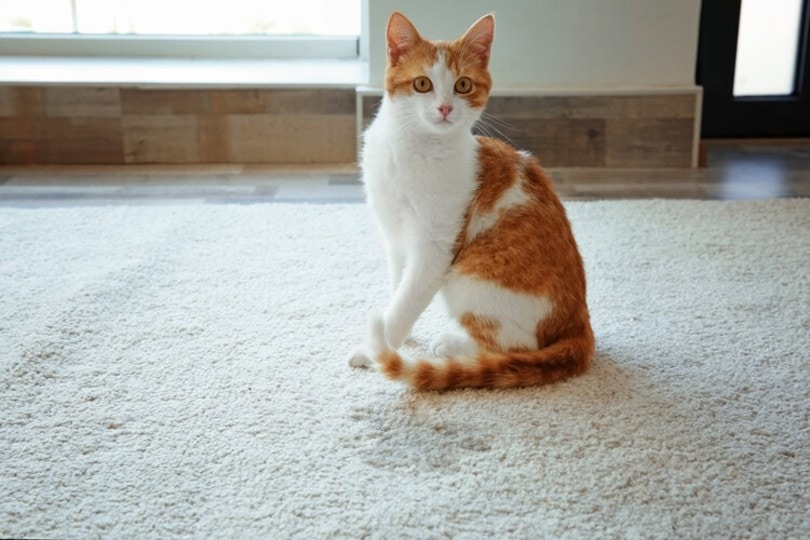 cat with pee stain on the carpet