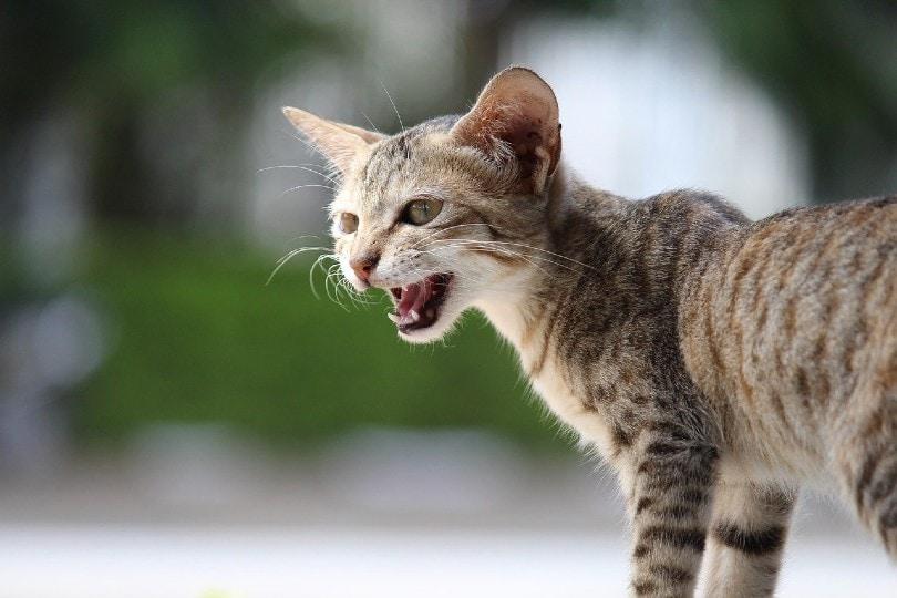 cat yowls