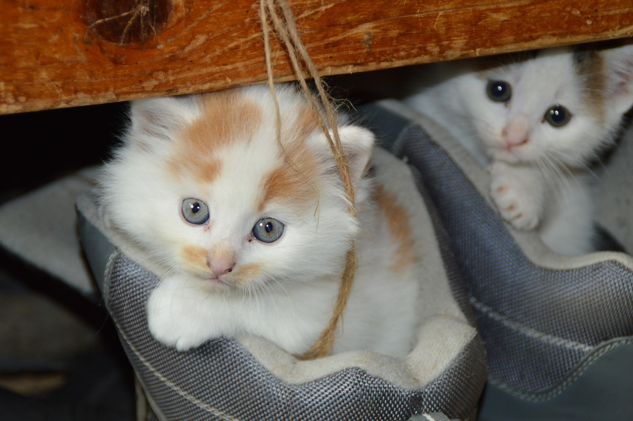 cats in the shoes