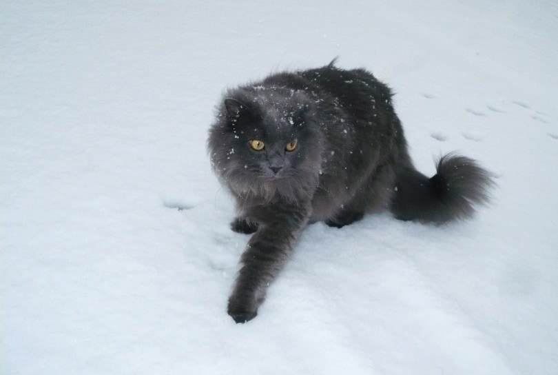 chantilly-tiffany cat in snow