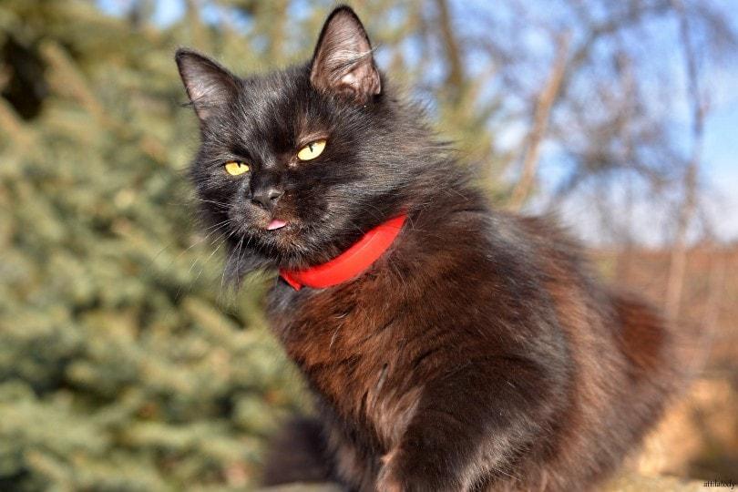 chantilly-tiffany cat outdoors