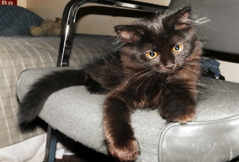 chantilly-tiffany kitten