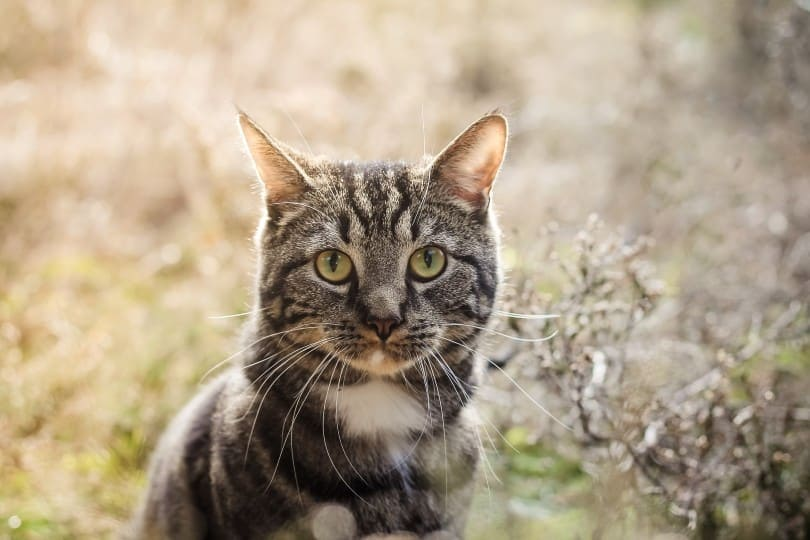 close up a tabby cat outdoor