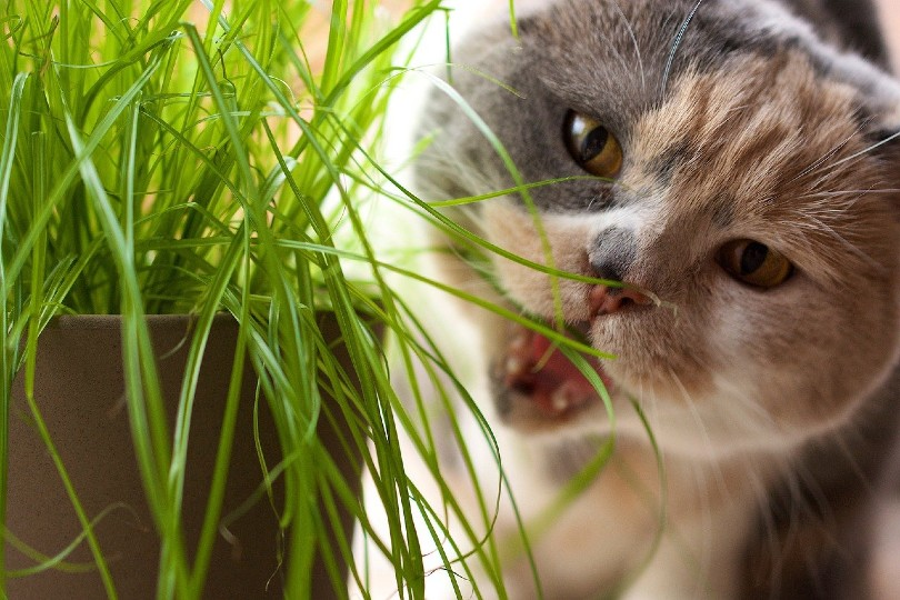 close up of a cat eating grass