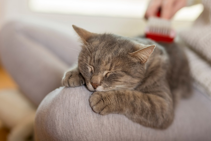 furry-tabby-cat-lying-on-its-owners-lap_Impact-Photography_shutterstock2