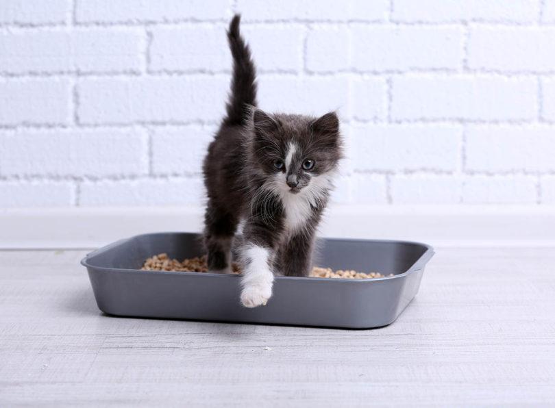 kitten in a litter box_Africa Studio, Shutterstock