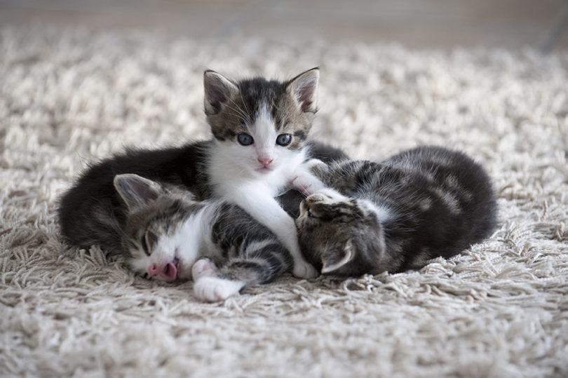 kittens in carpet_Tom Pingel, Shutterstock