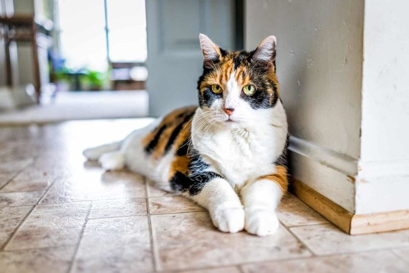 old calico cat_Kristi Blokhin, Shutterstock