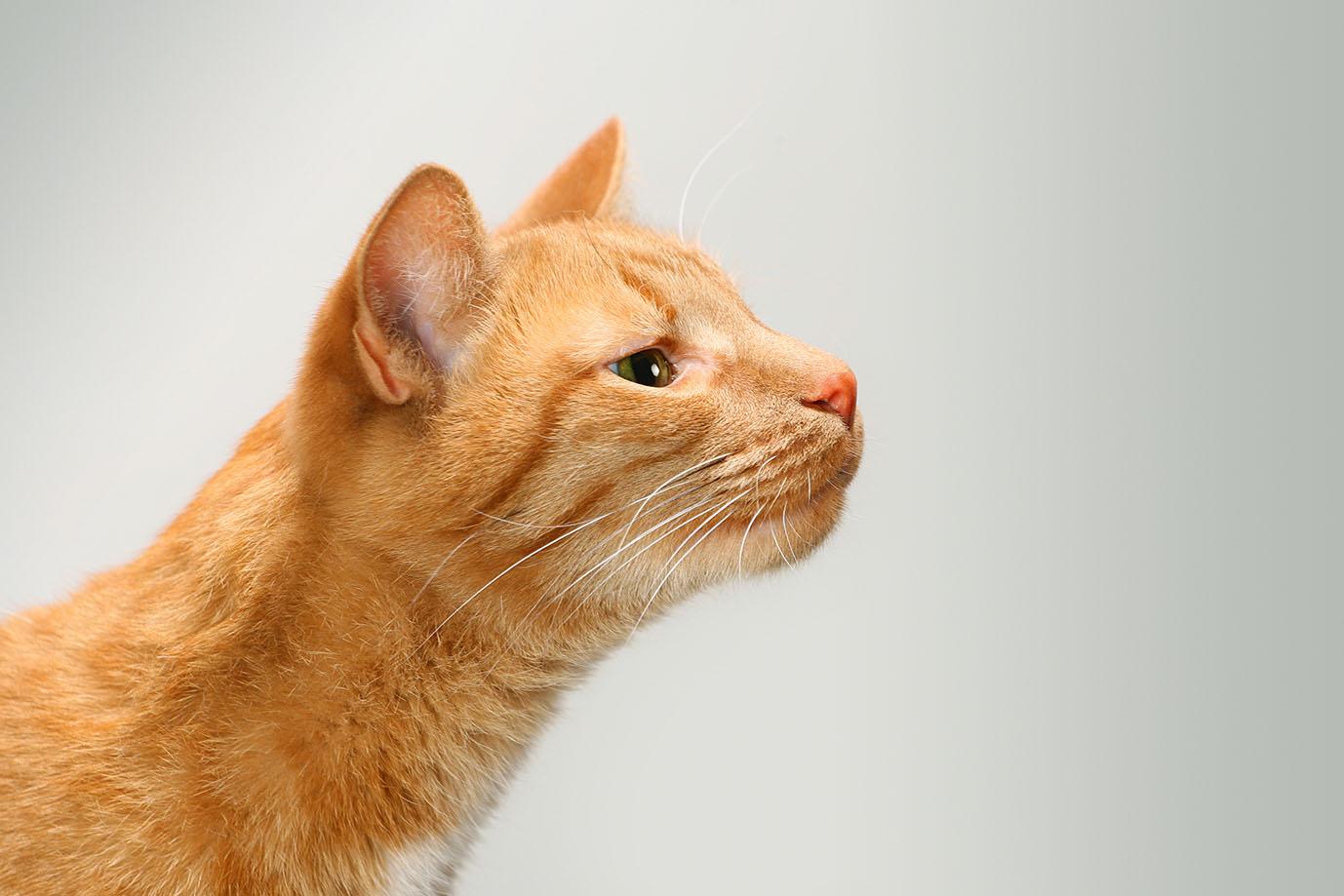 orange cat smelling something
