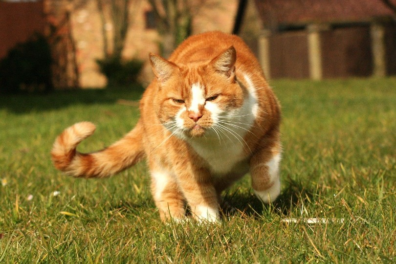 red tabby cat in pain