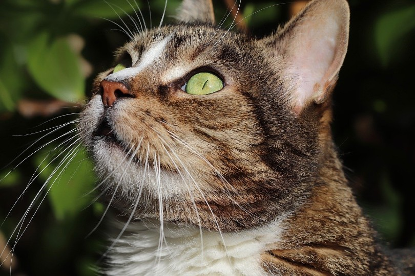 tabby cat looking up_Annette Meyer, Pixabay