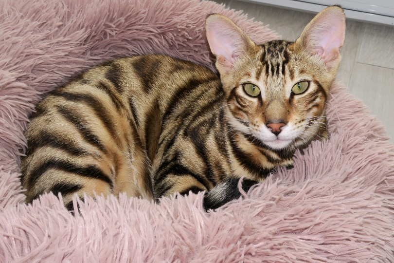 toyger cat in bed