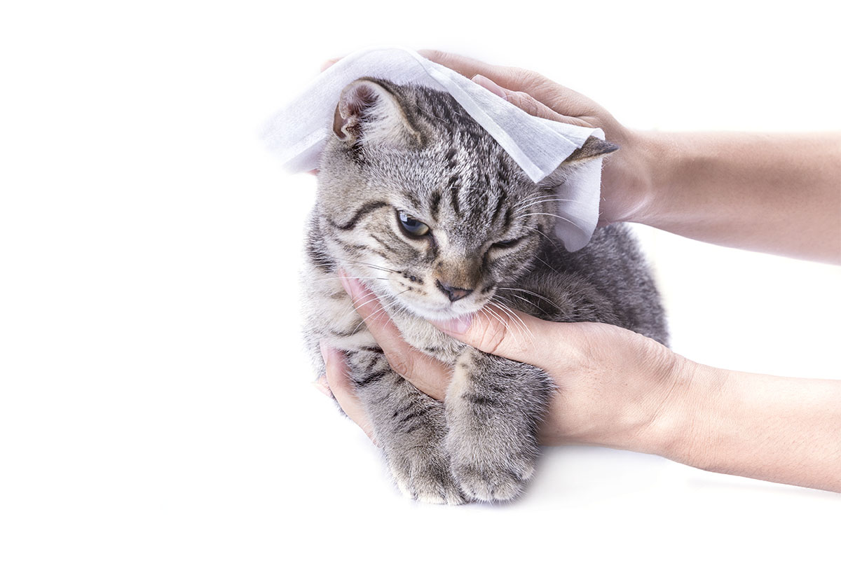 wiping cat with baby wipes