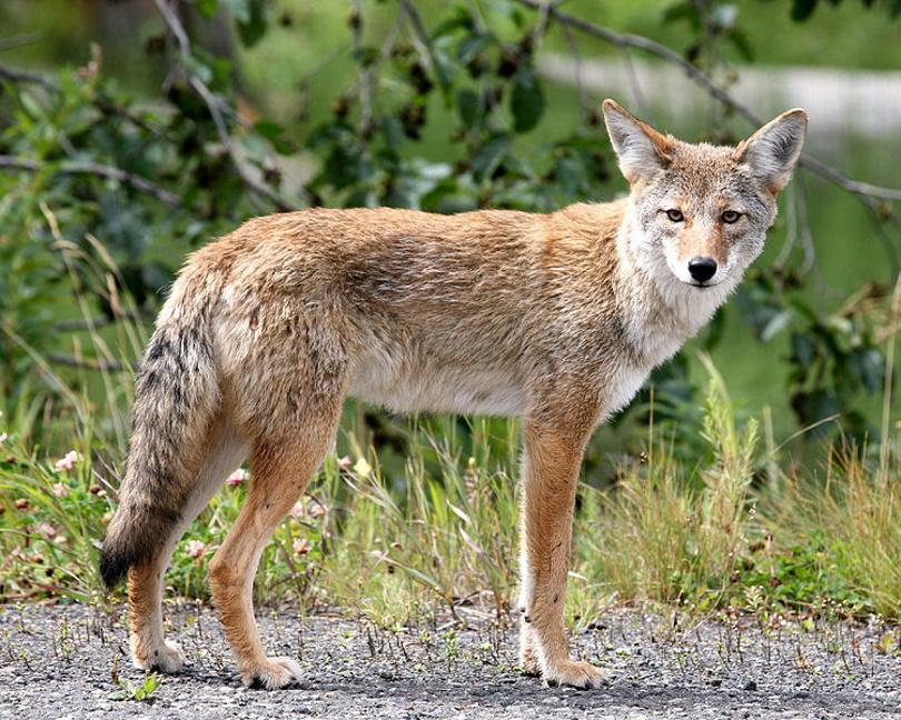 Coyote_Mariomassone_Wikimedia