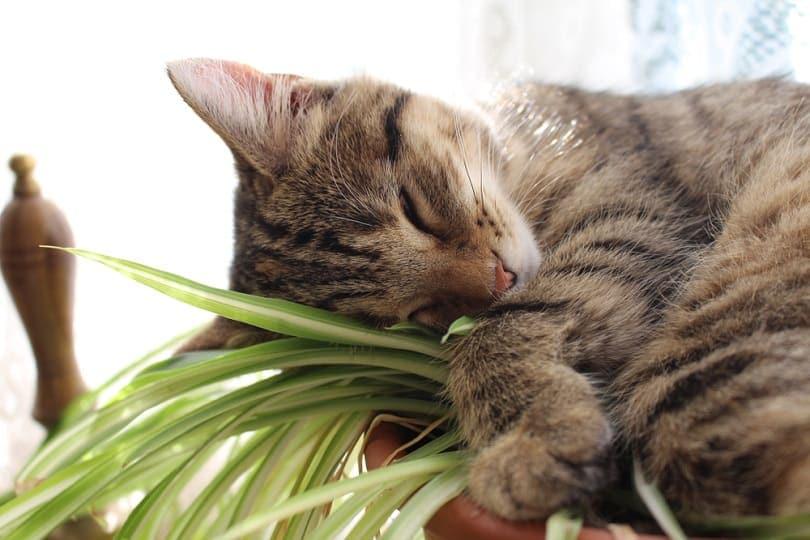 Kitten sleeping spider plant_Artycustard_shutterstock