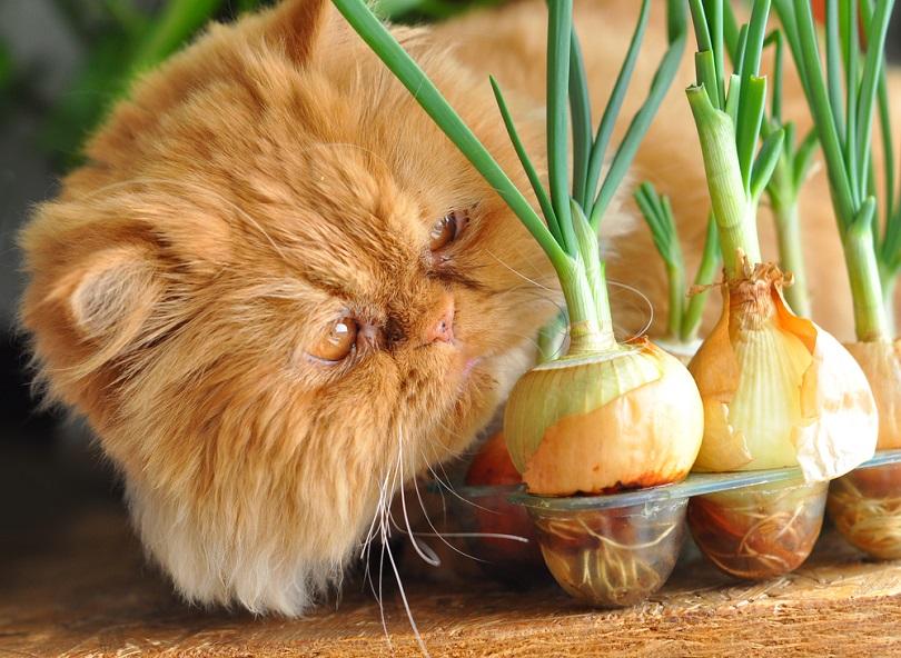 Red-cat-sitting-by-the-onion_Zanna-Pesnina_shutterstock