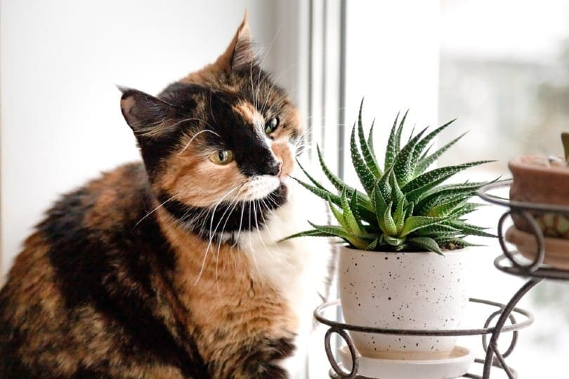 Tortoiseshell looking at succulents plant in a pot