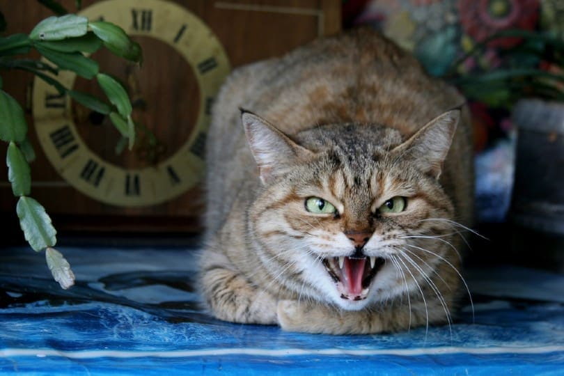 angry domestic cat growling