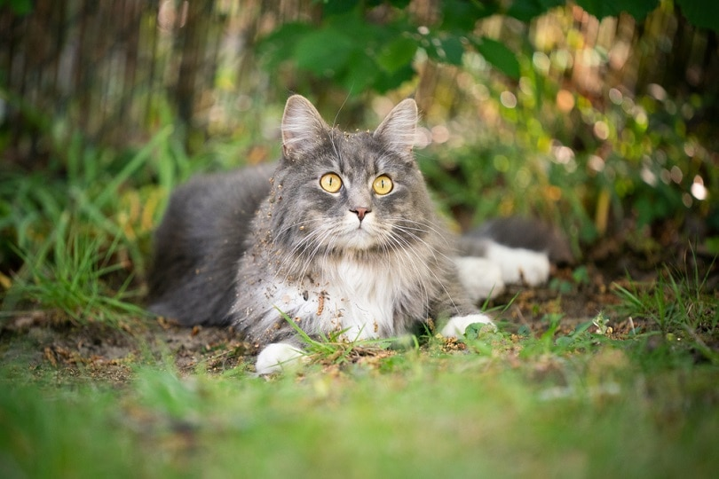 blue-tabby-maine-coon-cat-with-dirty-fur_Nils-Jacobi_shutterstock