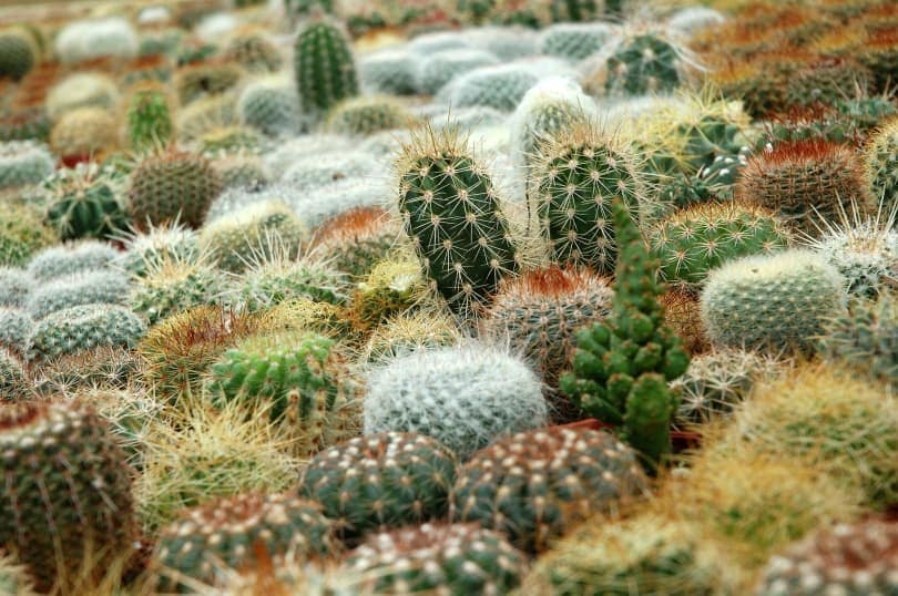 cacti plant_LucaPelliciari_Pixabay