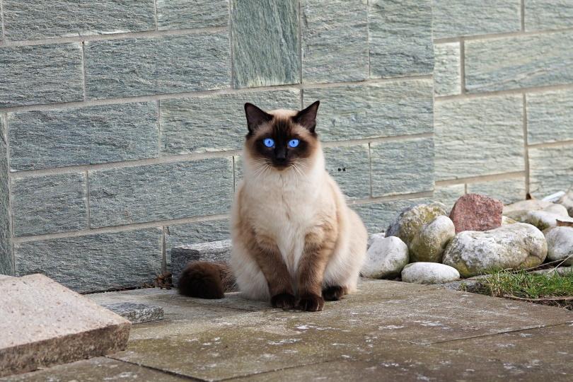 cat blue eyes_Andreas Lischka_Pixabay