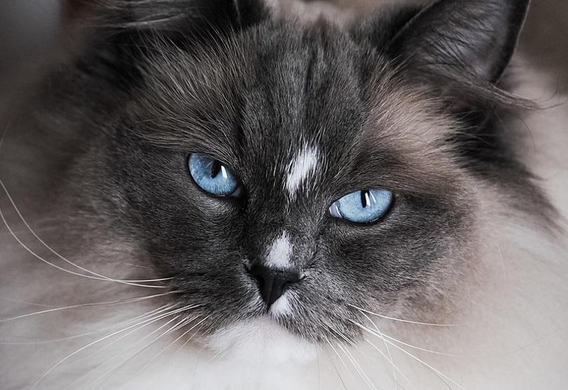 cat blue eyes_Shadowmeldphoto_Wikimedia