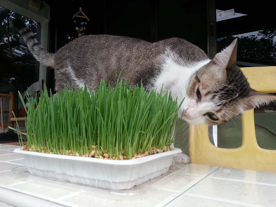 cat eat young wheatgrass