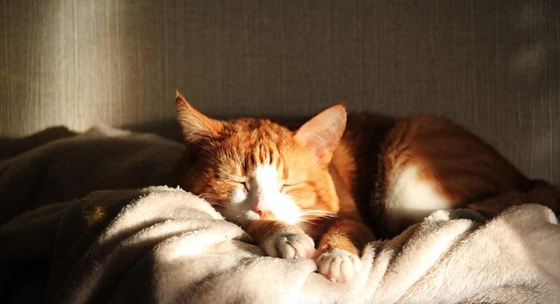 cat heat