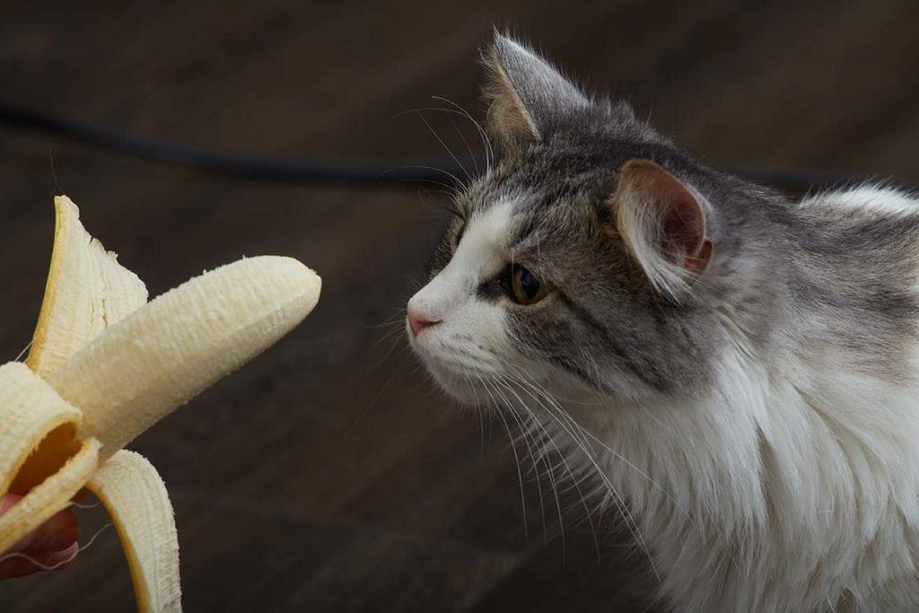 cat looking at banana