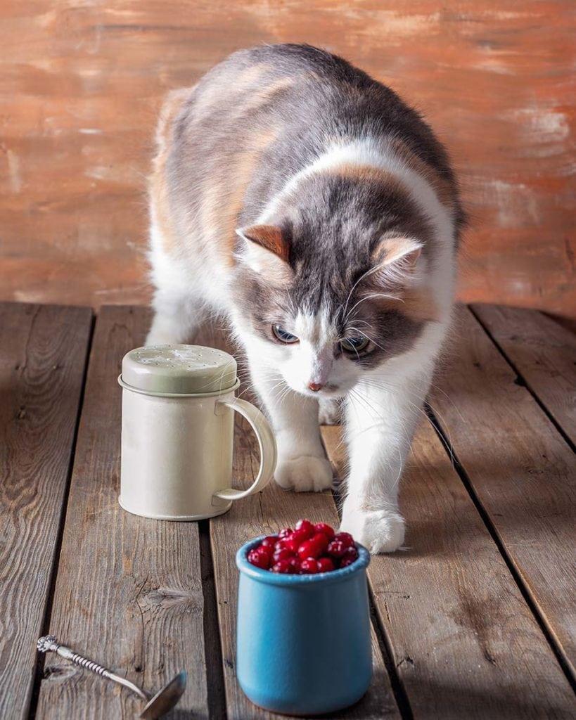 cat looking at cranberries