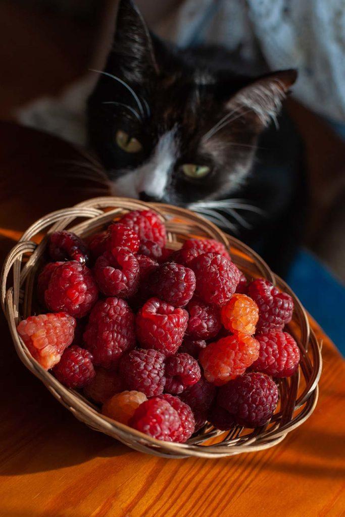 cat looking at raspberries
