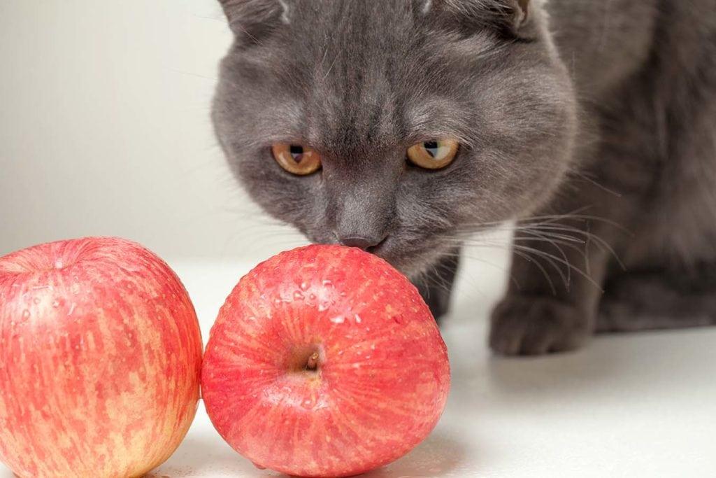 cat smelling apples