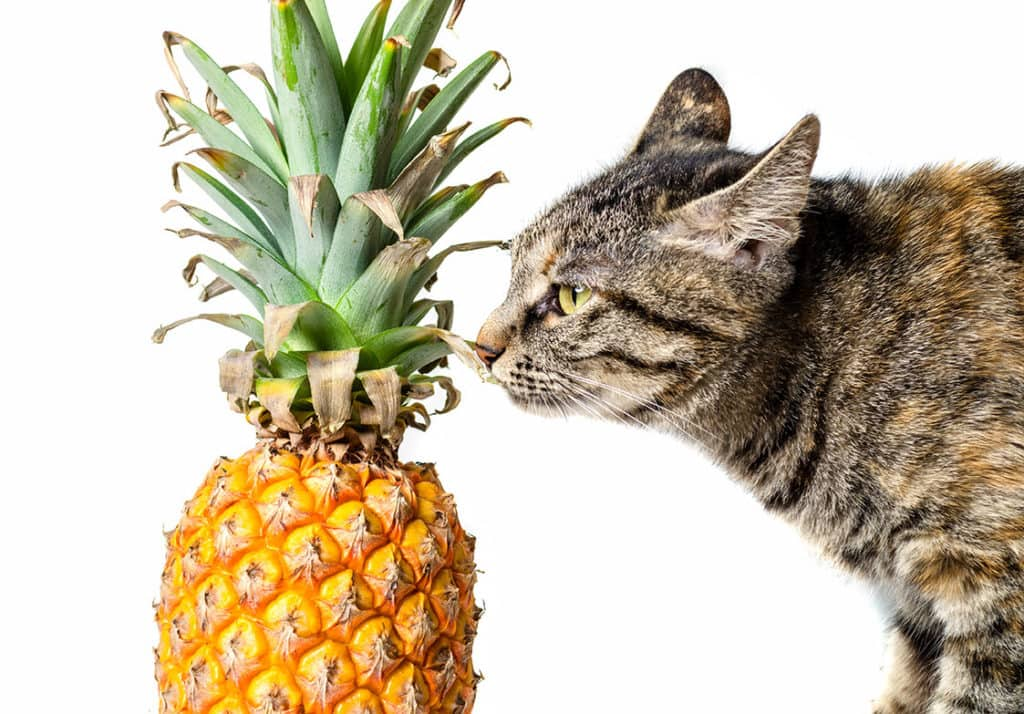 cat smelling pineapple