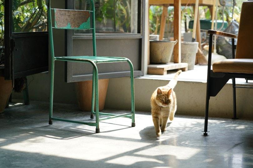 cat walking indoor