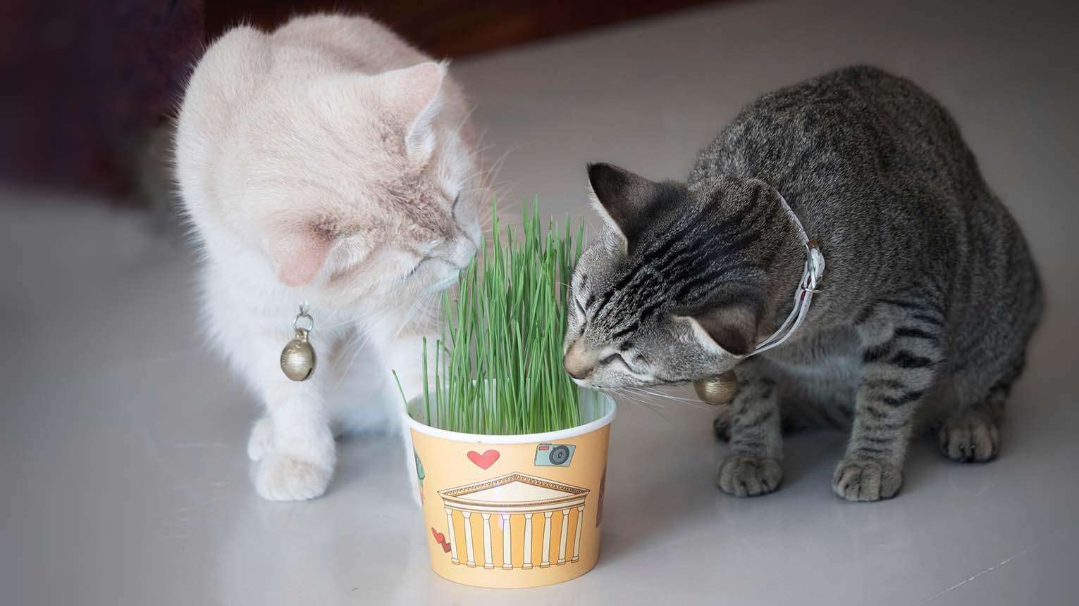 cats eating Wheatgrass