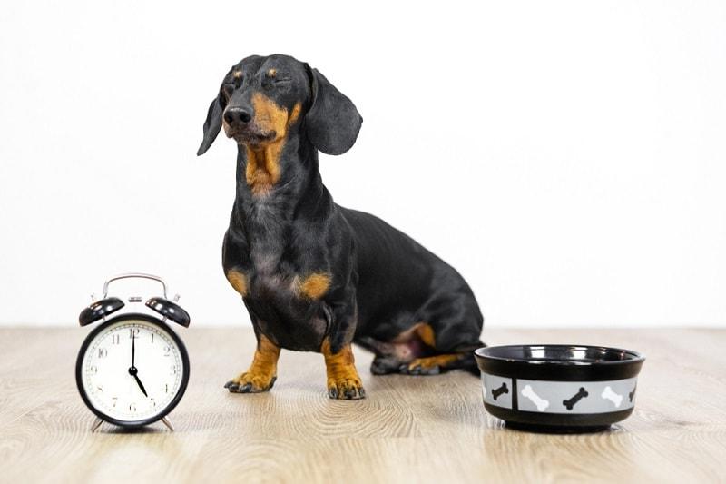 dachshund dog-eating time_Shutterstock_Masarik