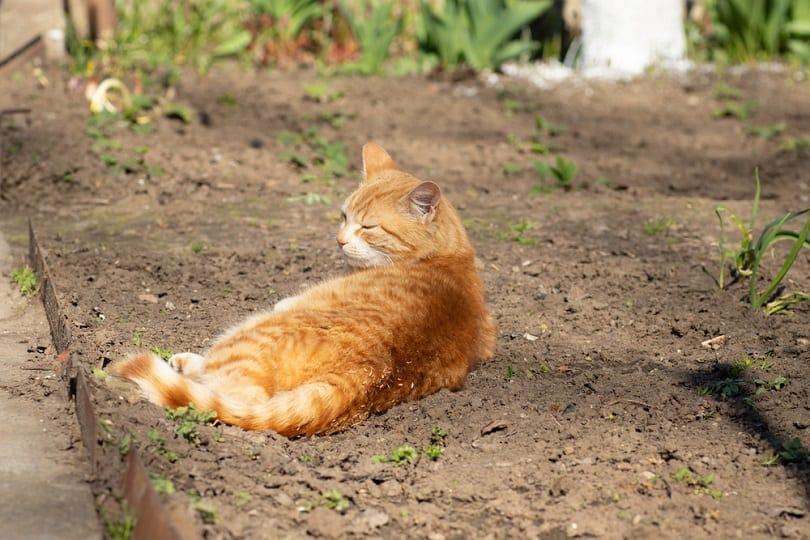 ginger-cat-basking-on-flower-bed_Evghenia_shutterstock