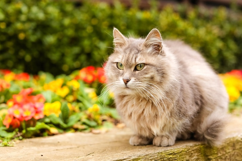 large-fluffy-cat-with-gray-fur-sits-on-the-lawn_Eliz-A_shutterstock
