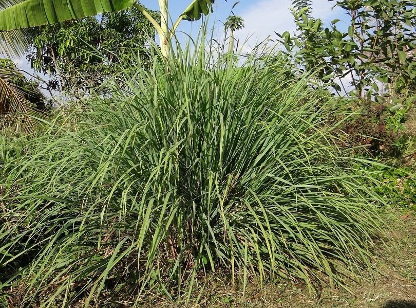 lemongrass-pixabay