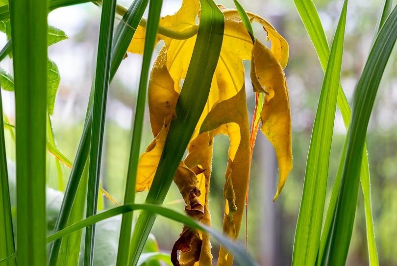 lemongrass-pixabay2