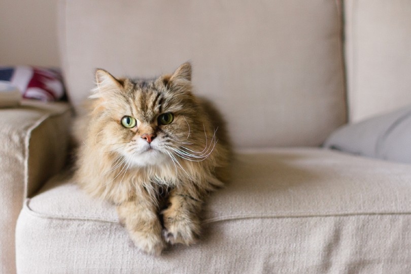 long haired adult cat laying on a tan sofa