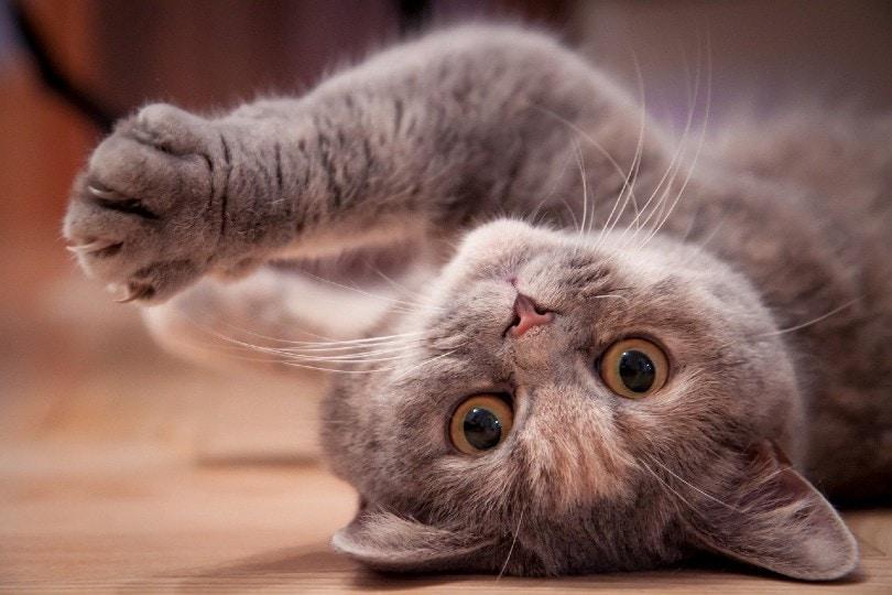 playful british shorthair cat