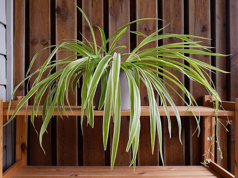 spider_plant_with_plantlets_and_flowers-commons wikimedia