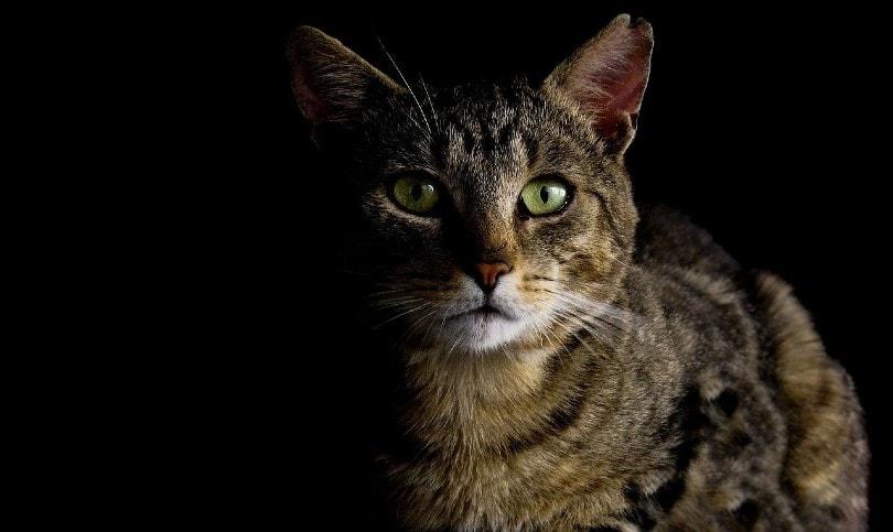 tabby cat in the dark