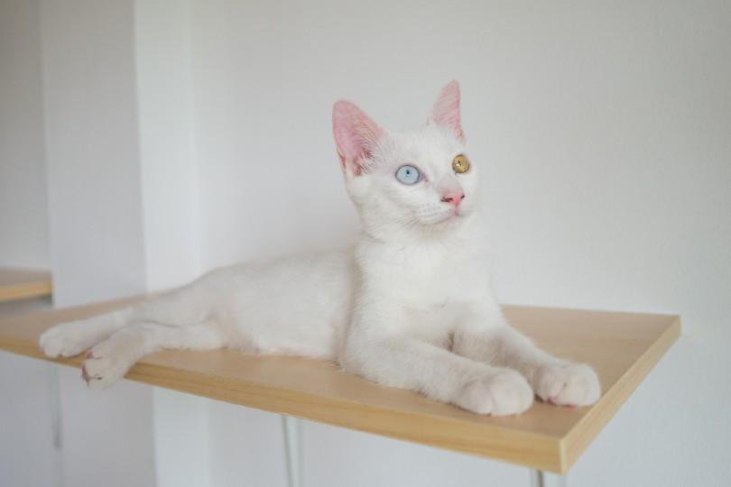 white cat on wall shelf