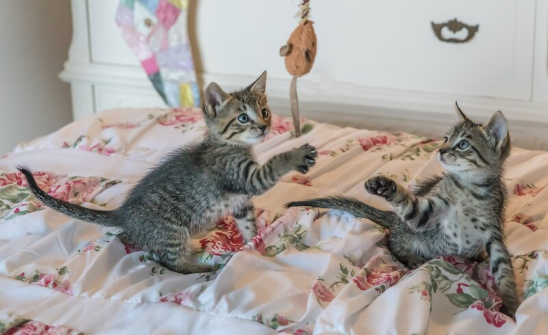 2 Grey Striped Kittens Playing on a Blanket with Toy